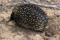 Echidna mammal seen in victoria australia Stock Photo