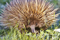 Echidna Royalty Free Stock Photo