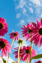 Echinacea on a background of blue sky bottom view purpurea Stock Photos