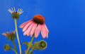 Echinacea on Blue Stock Image