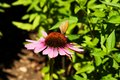 Echinacea butterfly on in green background Royalty Free Stock Photography