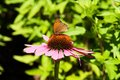 Echinacea butterfly on in green background Royalty Free Stock Images