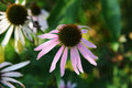 Echinacea close up of blooming flower Royalty Free Stock Image