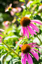 Echinacea close up of purple coneflower plant purpurea Royalty Free Stock Photo