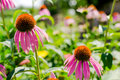 Echinacea close up of purple coneflower plant purpurea Royalty Free Stock Photography