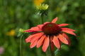 Echinacea colorful flower in a garden Stock Photos