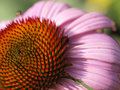 Echinacea (Echinacea Purpurea) Royalty Free Stock Images