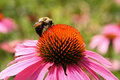 Echinacea Flower with Bee Royalty Free Stock Photo