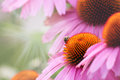 Echinacea flower and bee detail Royalty Free Stock Images