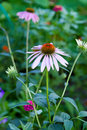 Echinacea flower flowers of purpurea medicinal plant Stock Image
