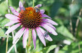 Echinacea flower in full bloom with honey bee and striped flies resting on the prickly stamen Royalty Free Stock Photo