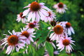 Echinacea flower popular herbal remedy Stock Images