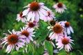 Echinacea flower Royalty Free Stock Photo