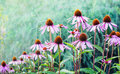 Echinacea flower`s blossoms