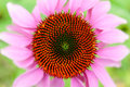 Echinacea Flower Top View Royalty Free Stock Photo