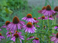 Echinacea flowers Royalty Free Stock Photo