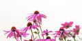 Echinacea flowers close up of cone growing against a white wall Royalty Free Stock Photography