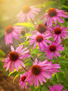 Echinacea flowers close up of flower Royalty Free Stock Photo