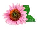 Echinacea flowers. Royalty Free Stock Photo