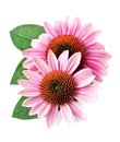 Echinacea flowers closeup. Royalty Free Stock Photo