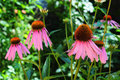 Echinacea flowers. Echinacea purpurea (eastern purple coneflower or purple coneflower) flowers in bloom. Royalty Free Stock Photo