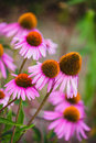 Echinacea flowers in a garden Royalty Free Stock Photo