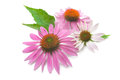 Echinacea flowers isolated on a white background Stock Images