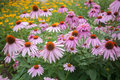 Echinacea Royalty Free Stock Photo