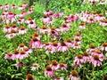 Echinacea Angustifolia Flowers