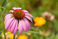 Echinacea a pretty pink flower head in the garden Royalty Free Stock Photo