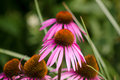 Echinacea Flower - Purple ConeFlower. Pink Petals and Red Stamen Royalty Free Stock Photo