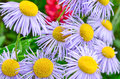 Echinacea, purple and yellow cone flowers Royalty Free Stock Photo