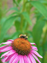 Echinacea Purpurea with Bee Stock Images