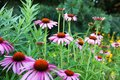 Echinacea purpurea blooming cone flower Royalty Free Stock Images