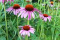Echinacea purpurea blooming cone flower Royalty Free Stock Image
