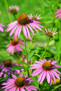 Echinacea purpurea blooming medicinal herb against green background Royalty Free Stock Image