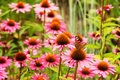 Echinacea purpurea Royalty Free Stock Photo