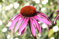 Echinacea Purpurea Coneflower Royalty Free Stock Photo