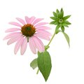 Echinacea purpurea coneflower Flowers branch Royalty Free Stock Photo