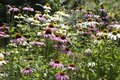 Echinacea purpurea, eastern purple coneflower in bloom, bunch of coneflowers Royalty Free Stock Photo