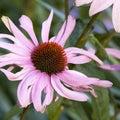 Echinacea purpurea eastern purple coneflower purple coneflower rudbeckia flowers in bloom Stock Photography