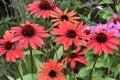 Echinacea purpurea field of wonderful Royalty Free Stock Image