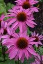 Echinacea purpurea field of wonderful Royalty Free Stock Photos