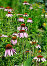 Echinacea purpurea flower Royalty Free Stock Images