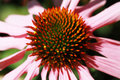 Echinacea purpurea among the greenery in the garden Stock Images