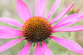 Echinacea purpurea, light pink healing herb Royalty Free Stock Photo
