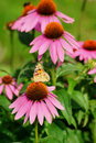Echinacea purpurea - pink coneflower flower and butterfly Araschnia levana Royalty Free Stock Photo