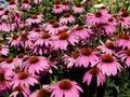 Echinacea Purpurea Or Purple Cone Flower Royalty Free Stock Photo