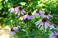 Echinacea purpurea and purple cone flowers flower bed with copy space. Echinacea Benefits and Uses. Coneflowers Flowerbed Royalty Free Stock Photo