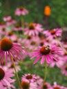 Echinacea Purpurea (Ruby Star ...